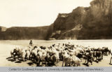 Navajo Goats and Sheep Being Herded