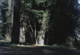 Forests: California redwoods