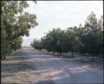 Pecan Trees, Las Cruces, NM