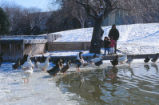 Duck Pond - ducks and geese standing on ice