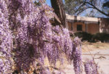 Faculty Housing - Las Lomas Road - wisteria vines