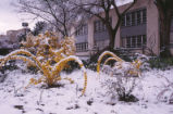 Mitchell Hall - exterior - forsythia in snow