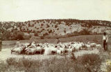 Thrashing wheat with goats, New Mexico