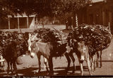 Burros loaded with firewood on Plaza, Santa Fe, New Mexico