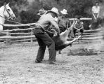 "Cowboy ""flanking"" a calf for branding, Valley Ranch, New Mexico"