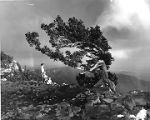 Wind swept spruce tree on the crest of the Sandia Mountains, overlooking Albuquerque, New Mexico