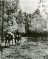 Rider leading his pack horse through aspen grove, Santa Fe National Forest, New Mexico