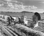 Workers picking carrots in Middle Rio Grande Valley near Los Lunas, New Mexico