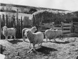 Sheep with newborn lambs near Taos, New Mexico