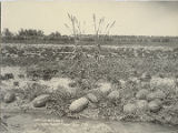 Watermelons at George Davis farm, Chavez County, Roswell, New Mexico