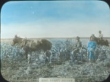 Farmers in corn field, Quay County, New Mexico