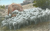 Flock of Navajo sheep, New Mexico