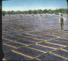 Drying prunes, San Joaquin Valley, California