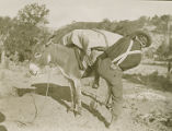 Man cinching load on pack burro, New Mexico