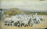 Threshing grain with goats, New Mexico