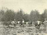 Prize cattle, Roswell, New Mexico