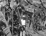 Bananna plantation near San Blas, Mexico