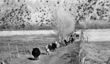 Cattle on farm near Santa Fe, New Mexico