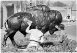 Buffalo sculpture by Dan Ostermiller being installed at Fenn Galleries on Paseo De Peralta, Santa...