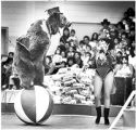 Trainer Teppa Hall with brown bear during Bentley Brothers Circus, College of Santa Fe, New Mexico