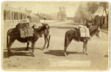 Burros, Lincoln Avenue at Palace Avenue looking north, Santa Fe, New Mexico