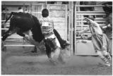 Rodeo clown, Pat Hempsted, distracts Pale Face (bull) as rider Gary Walters dismounts, Santa Fe,...