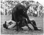 Rodeo cowboy wrestles steer, Santa Fe, New Mexico
