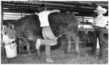 4-H members groom cow for Santa Fe County Fair, Santa Fe, New Mexico
