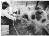 4-H member readies pig at Santa Fe County Fair, Santa Fe, New Mexico