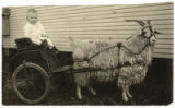 Child rides in goat cart
