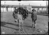 Boy with woodhauling-burro near corner of Grant and Palace Avenue, Santa Fe, New Mexico