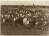 Cattle in stock yards