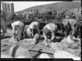 Workers shear sheep in front of machinery