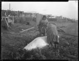 """Cutting up a Beluga whale, Kotzebue Eskimo"""