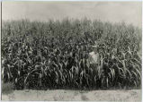 Man standing in field of Egyptian wheat grown on A.S. Robertson farm, Dona Ana County, New Mexico