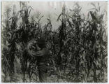 Man inspecting field of Indian corn, Eddy County, New Mexico