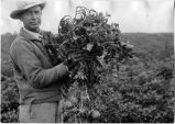Unidentifed man holding bunch of Irish potatoes, Jim Hatch farm near Portales, New Mexico