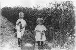 Children harvesting grapes, Eddy County, New Mexico