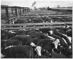 Indian cattle trucked to Clovis for sale and shipping, New Mexico