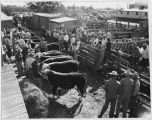 Shipment of pure-bred Hereford cattle being rated and shown before sale, Clovis, New Mexico