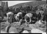 Men shearing sheep, New Mexico