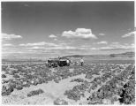 Harvesting cabbage at the Bluewater Project, 40 miles East of Gallup, New Mexico