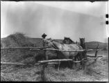 Threshing wheat with horses, Zuni Pueblo, New Mexico, September 7, 1935