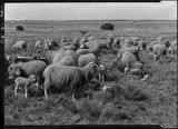 Flock of sheep, New Mexico