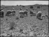 Flock of sheep, Acoma Pueblo, New Mexico