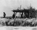 Navajo family with herd of sheep, New Mexico