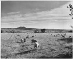 Sheep grazing in field, New Mexico