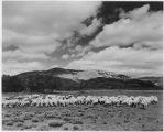 Sheep in the shadow of El Cerro Redondo, New Mexico