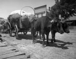 Team of oxen on National Avenue, Las Vegas, New Mexico
