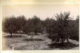 Orchard, Mesilla, New Mexico